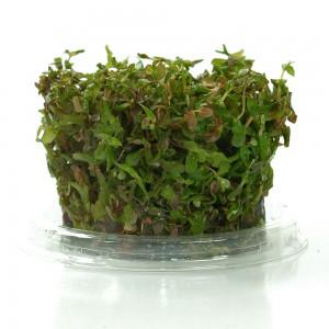 Rotala macrandra Invitro-Kultur – Dicht an dicht wachsen die Jungpflanzen heran.