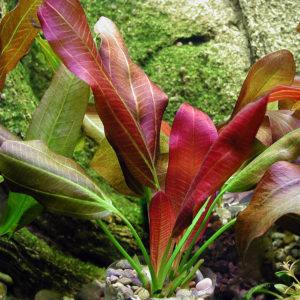 Barths Schwertpflanze submers im Aquarium