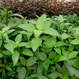 Kirschblattpflanze emers im Treibhaus