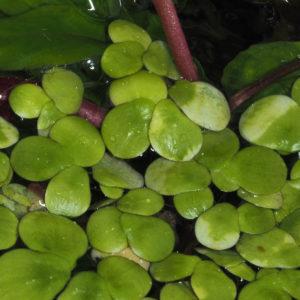 Schwimmpflanze Spirodela
