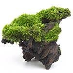 Aquarienpflanzen auf Wurzel