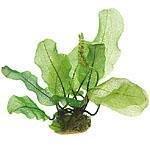 Dennerle Mittelgrundpflanzen