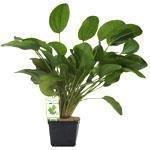 Dennerle Mutterpflanzen