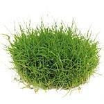 Dennerle Vordergrundpflanzen