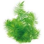 Pflanzen f�r Kaltwasseraquarien