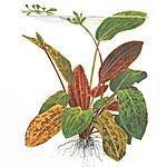 Tropica Echinodorus
