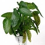 Tropica Mutterpflanzen XL