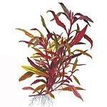Tropica Stängelpflanzen
