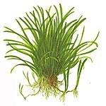 Tropica grasartige Pflanzen