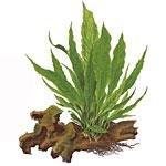 Tropicapflanzen auf Wurzel
