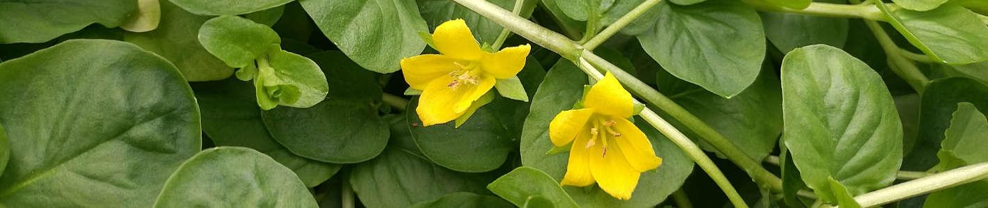 Pflanzen für Gartenteiche