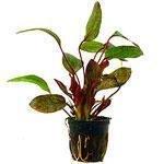 Wasserpflanzen im Topf