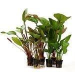 großblättrige Pflanzen