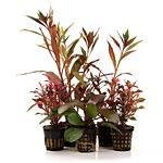 rote Aquarienpflanzen