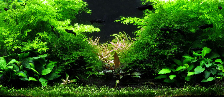 Gesunde Aquarienpflanzen Direkt Aus Der Gartnerei Bestellen