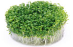 Meristempflanzen – Aquarienpflanzen aus InVitro-Kultur