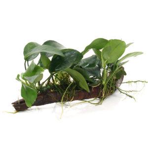 Aquarium Pflanzen einsetzen - Aufsitzerpflanzen