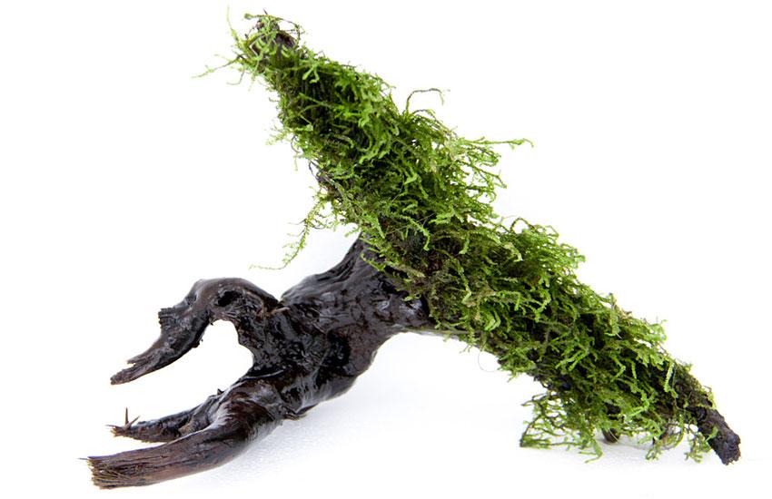 Etwas Neues genug Aufsitzerpflanzen für das Aquarium – Wie befestige ich die @LJ_11