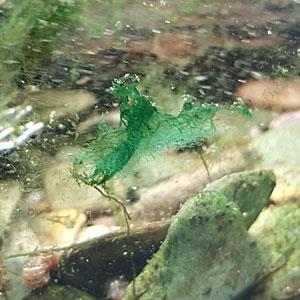 Blaualgen im Aquarium