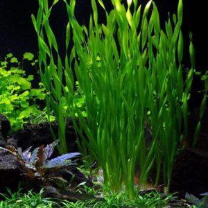Asiatische Wasserschraube – Vallisneria asiatica