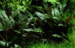 Pflanzenportrait: Cryptocoryne – Wasserkelch