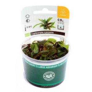 InVitro Aquarienpflanze schneckenfrei - Cryptocoryne