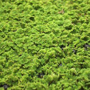 Schwimmpflanze Aquarium - Moosfarn / Algenfarn