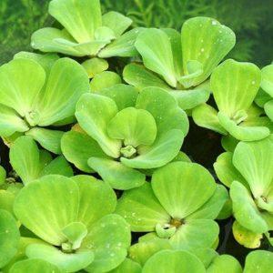 Schwimmpflanze Aquarium - Muschelblume