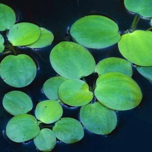 Schwimmpflanze Aquarium - Froschbiss