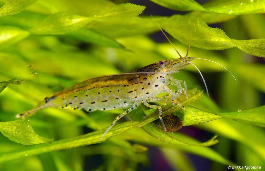 Garnele auf Aquarienpflanze