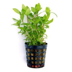Aquarienpflanze im Topf einpflanzen - Staurogyne repens