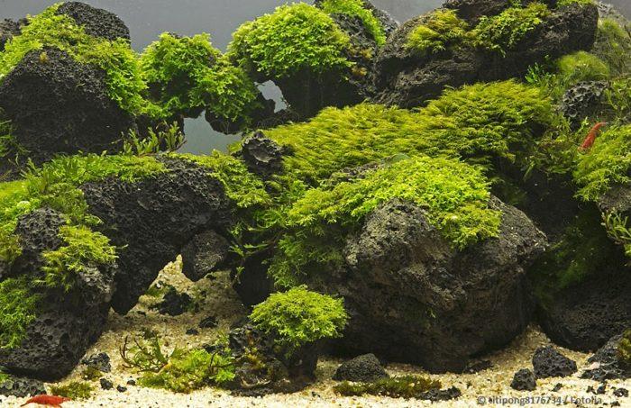 Moos im Aquarium befestigen