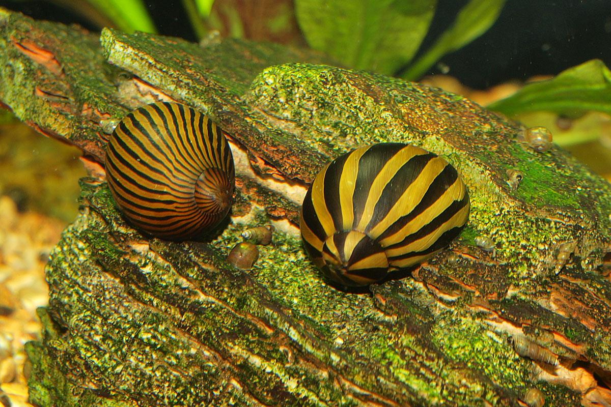 algenfresser im aquarium die beliebtesten helfer gegen algen. Black Bedroom Furniture Sets. Home Design Ideas