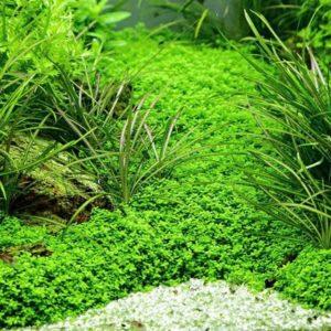 Kubanisches Perlenkraut als Rasen im Aquarium