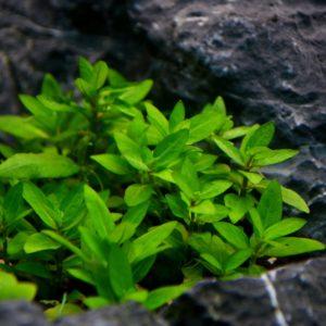 Staurogyne repens als Bodendecker im Aquarium
