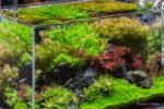 Ein grüner Rasen im Aquarium: Pflanzenteppich im Vordergrund