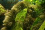 Schwarzalgen: schwarze Algen im Aquarium