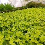 Wasserpflanzen für den Onlinehandel im Treibhaus