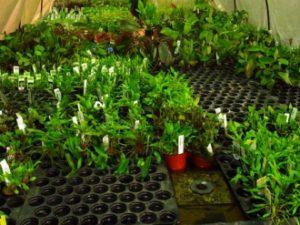 Wasserpflanzen für den Onlinehandel emerse Haltung