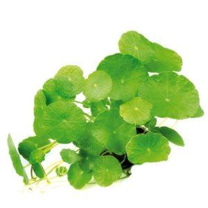 Südamerika Naturaquarium Pflanze Wassernabel Hydrocotyle