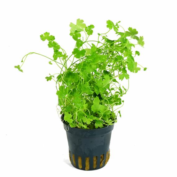 Hydrocotyle mit kleeblattähnlichen Blättern
