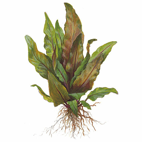 Cryptocoryne undulata broad leaves 110A Topf