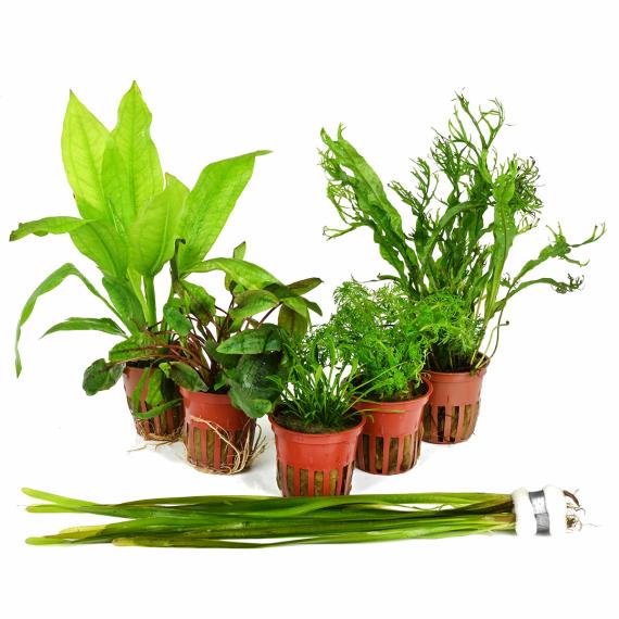 Pflanzenset Fur Ein 54 Liter Einsteigeraquarium Layout Nr 1 Von Tropi