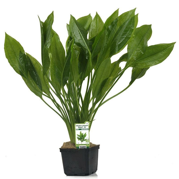 gro e amazonaspflanze echinodorus grisebachii bleherae xxl. Black Bedroom Furniture Sets. Home Design Ideas