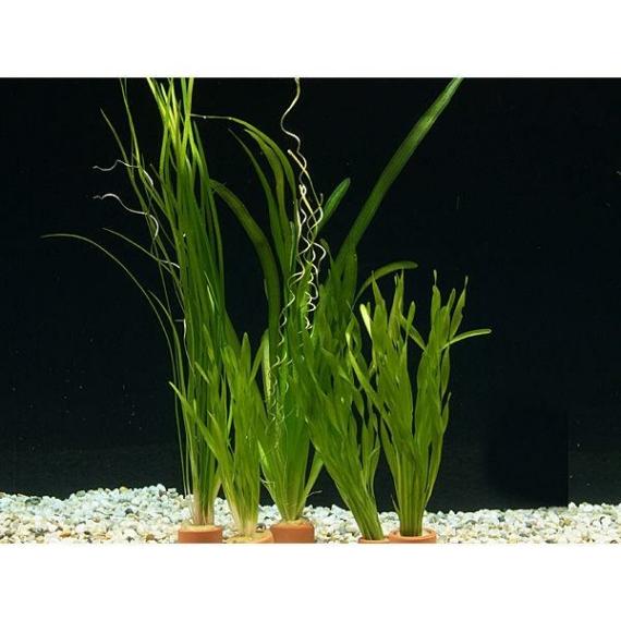 Kleines vallisnerien set 7 bunde aus drei arten for Kleine teichfische arten