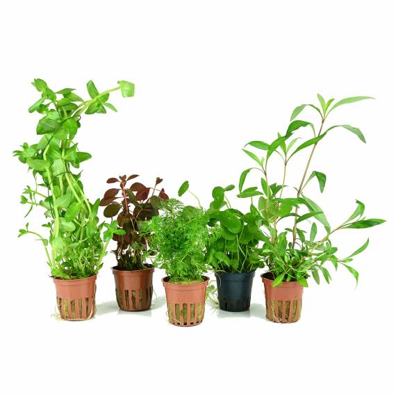5 t pfe bewurzelte wasserpflanzen f r den aquarienhintergrund. Black Bedroom Furniture Sets. Home Design Ideas