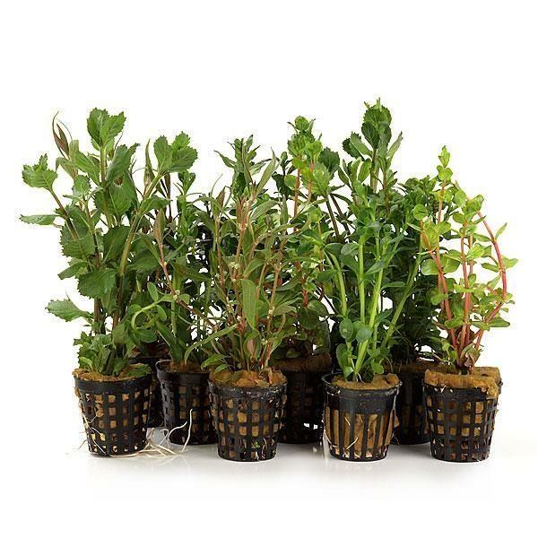 10 t pfe bewurzelte wasserpflanzen f r den aquarienhintergrund. Black Bedroom Furniture Sets. Home Design Ideas