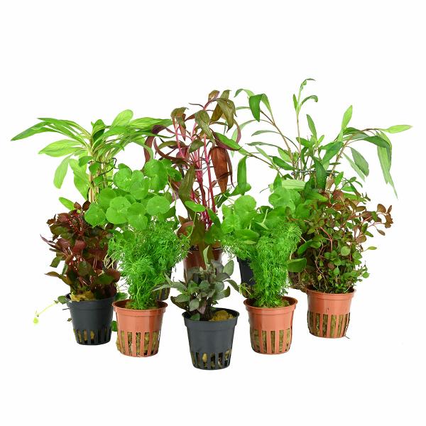 10 schnellwachsende aquarienpflanzen f r den hintergrund. Black Bedroom Furniture Sets. Home Design Ideas