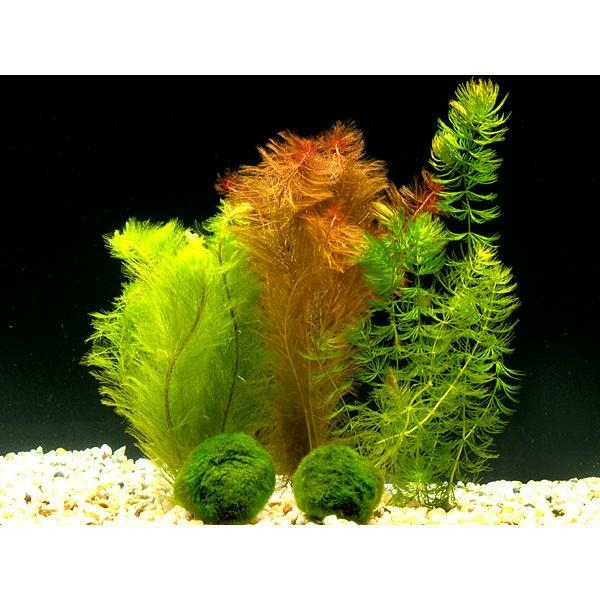 pflanzen f r kleines aquarium co2 anlage kaufen. Black Bedroom Furniture Sets. Home Design Ideas