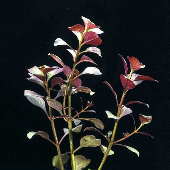 Ludwigia repens var. Rubin - Ludwigia spec. Diamond Red